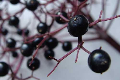 Чёрная смородина, ягоды и листья, в чём её польза