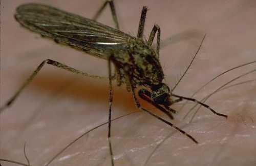 Именно такие пятна и вызывают зуд, но при этом человек может списать эти укусы на нападение комаров. Люди могут не знать о наличии клопов в квартире, так как эти кровососущие насекомые активны в ночное время, а днем они спят