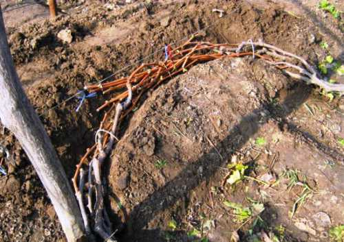 Важны профилактическая обработка винограда осенью от вредителей и его формировка