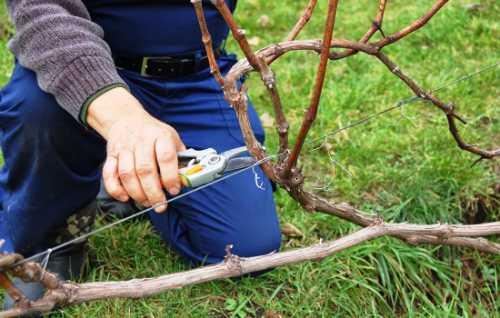 Еще садовод проводит удаление поврежденных плодов и сухой листвы