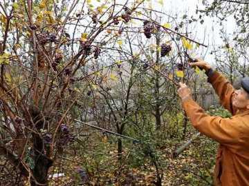 Как  ухаживать за виноградом осенью, преимущества