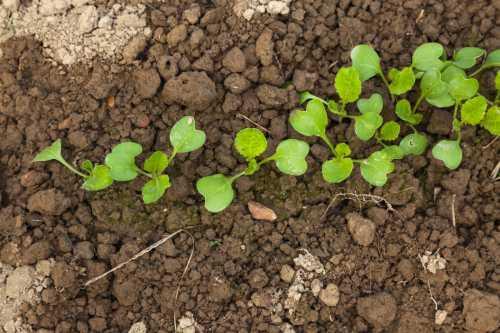 Как правильно посадить рассаду цветной капусты в грунт