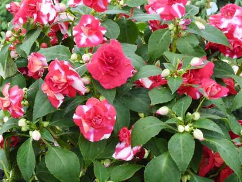 Когда вы решили самостоятельно вырастить цветок бальзамин садовый из семян это похвально